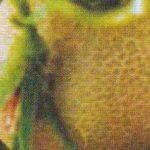 Опробковение плода томата фото