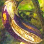 Растрескивание плода баклажана в жаркую погоду фото
