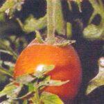 Вироид кустистости верхушки томата фото