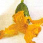 Гермафродитный цветок огурца фото