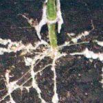 Заражение корней огурца галловыми нематодами фото