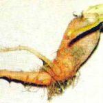 Повреждение плода моркови морковной мухой фото