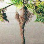Симптом неравномерного полива моркови фото