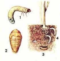 1. Личинка. 2. Куколка. 3. Куколка в почвенной колыбельке. 4. Повреждения корневой системы личинками.