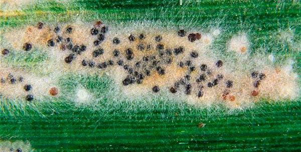 Клейстотеции мучнистой росы озимой пшеницы Erysiphe-graminis фото