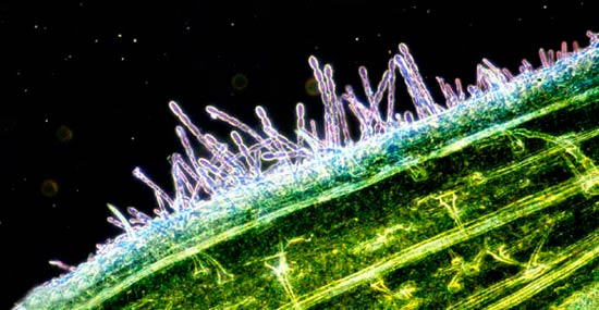 Конидиальное спороношение мучнистой росы озимой пшеницы фото