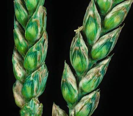 Проявление мучнистой росы озимой пшеницы на колосе фото