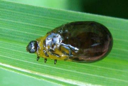 Личинка Пьявицы обыкновенной – Oulema melanopus фото