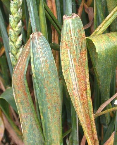 Пораженный лист. Бурая листовая ржавчина пшеницы Puccinia recondite – фото
