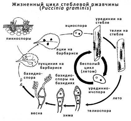 Жизненый цикл Стеблевой (линейной) ржавчины озимой пшеницы - фото