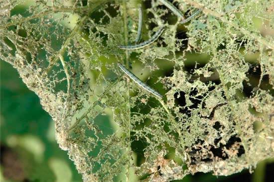 Скелетирование листьев гусеницами Лугового мотылька - Margaritia (Pyrausta ) sticticallis фото