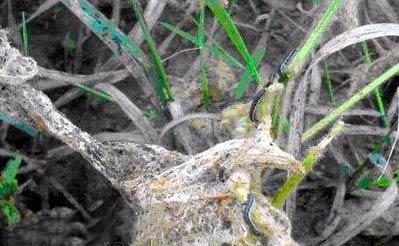 Поврежденные растения Луговым мотыльком - Margaritia (Pyrausta ) sticticallis оплетенные паутиной фото