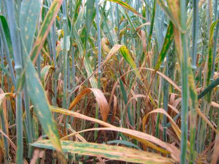 Пораженные  посевы пшеницы. Септориоз озимой пшеницы Septoria tritici - фото