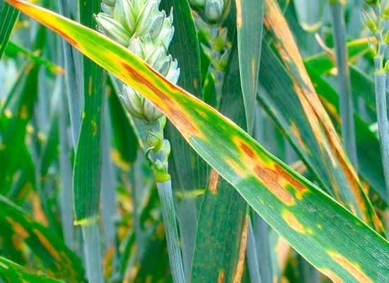 Пораженный лист. Септориоз пшеницы Septoria tritici - фото