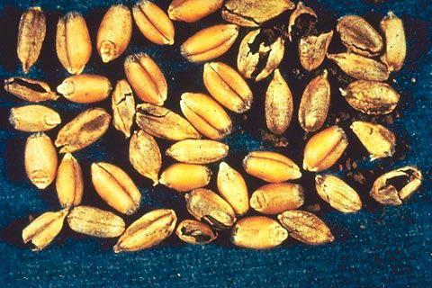 Зерно из колоса, пораженного Твердой головней пшеницы – Tilletia Tritici фото
