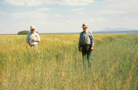 Опытный участок. Слева – здоровые растения. Справа – пораженные Карликовой головней – Tilletia controversa фото