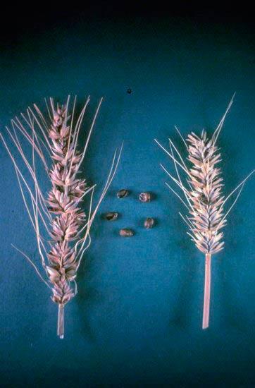 Колос пораженный Карликовой головней – Tilletia controversa фото