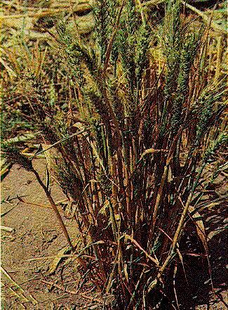 Пораженное растение пшеницы Карликовой головней – Tilletia controversa фото
