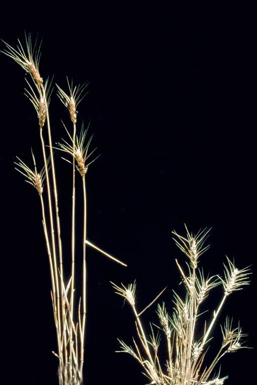 Здоровое растение и пораженное растение Карликовой головней – Tilletia controversa фото