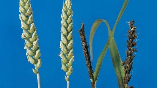 Пораженный колос. Пыльная головня озимой пшеницы – Ustiliago tritici – фото