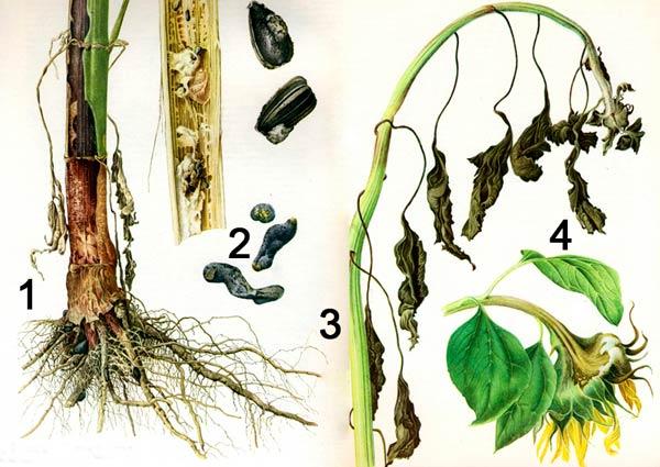 Белая гниль подсолнечника -Whetzelinia sclerotiorum фото 1. Прикорневая гниль. 2. Склероции. 3. Стеблевая гниль. 4. Гниль корзинки.