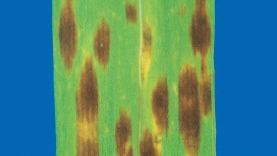 Обыкновенной (Фузариозно-гельминтоспориозная) корневая гниль Bipolaris sorokiniana фото