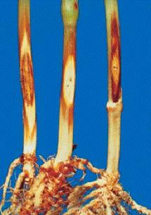 Церкоспореллезная гниль Pseudocercosporella herpotrichoides; Cercosporella herpotrichoides - фото