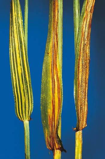 Полосатая пятнистость ячменя – Drechslera graminea (Helminthosporium gramineum) фото