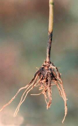 Офиоболезная корневая гниль Ophiobolus graminis фото