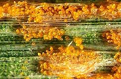 Лимонно-желтые уредии фото. Желтая ржавчина ячменя – Puccinia striiformis фото