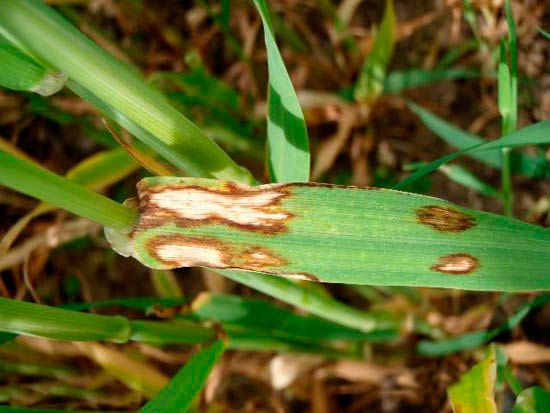 Ринхоспориоз ячменя – Rhynchosporium graminicola (secalis) фото