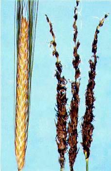 Пыльная головня ячменя – Ustilago nuda фото