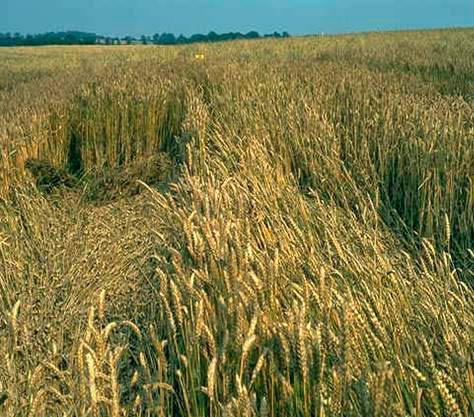 Церкоспореллезная гниль, полегание посевов озимой пшеницы фото