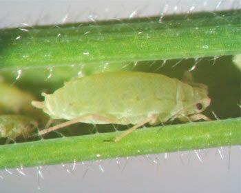 Ячменная тля – Brachycolus noxius (Diuraphis noxia) фото