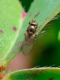 Прибрежная муха – Ephydra macellaria