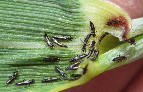 Пшеничный трипс - Haplothrips tritici фото