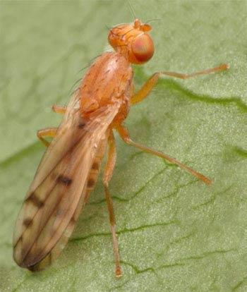 Опомиза пшеничная – Opomyza florum фото