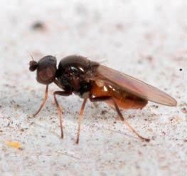 Овсяная шведская муха – Oscinella frit фото
