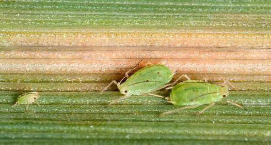 Обыкновенная злаковая тля – Schizaphis graminum фото