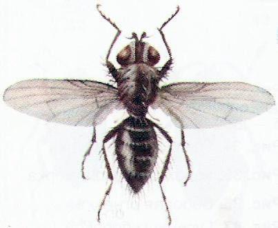 Яровая муха – Phorbia genitalis