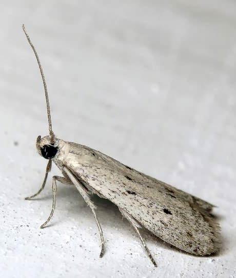 Подсолнечниковая огневка – Homoeosoma nebulella фото