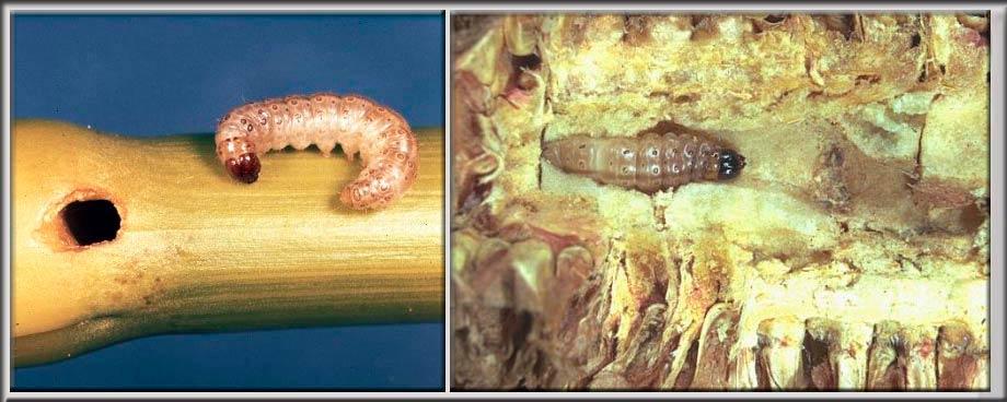 Гусеница Стеблевого кукурузного мотылька – Ostrinia nubilalis фото