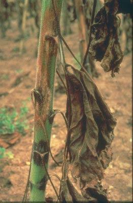 Фомопсис или серая пятнистость стебля подсолнечника – Phomopsis helianthi фото