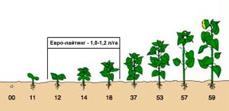 Внесение гербицида в фазу от 2-ух до 6-ти пар настоящих листьев подсолнечника
