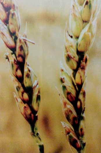 Базальный бактериоз пшеницы