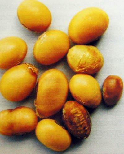 Бактериальный ожог сои - Pseudomonas syringae