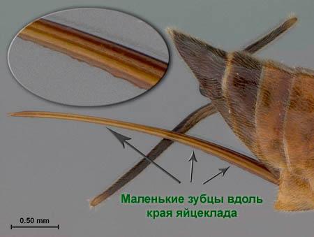 Маленькие зубцы вдоль края яйцеклада Cehpus pygmaeus