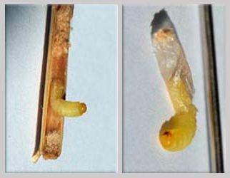 Личинка обыкновенного хлебного пилильщика - Cehpus pygmaeus