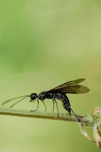 Черный хлебный пилильщик - Trachelus tabidus