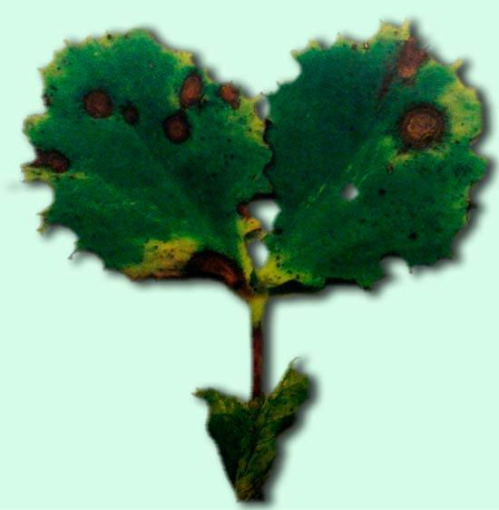 Темный аскохитоз гороха - Ascochyta pinodella фото